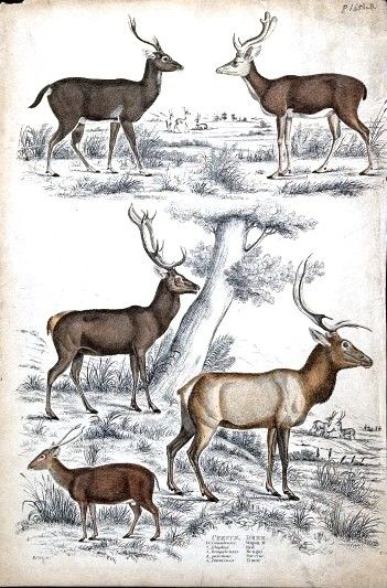 Animal - Deer - Educational plate