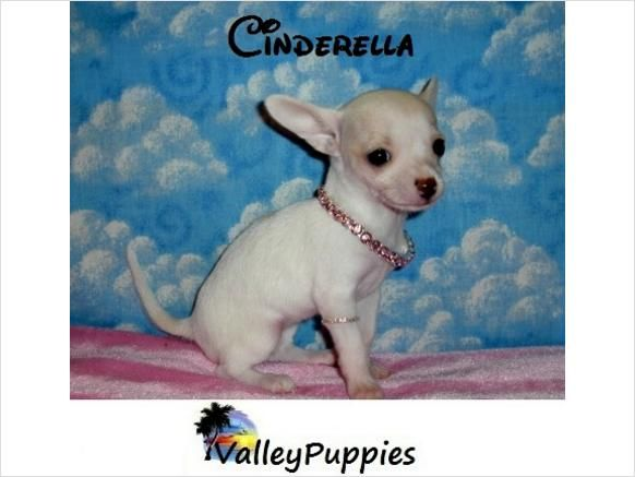 Toy Chihuahua Puppies for Sale | Tiny Teacup Toy Chihuahua Puppies For Sale in TEXAS - $399 - Mcallen ...