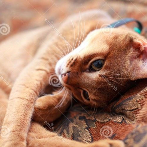 American bobtail cat personality
