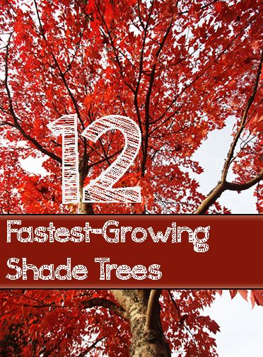 Great Ideas for shade trees that grow fast and are easy to maintain. Read this list of fast Growing Shade trees for your yard and landscape.