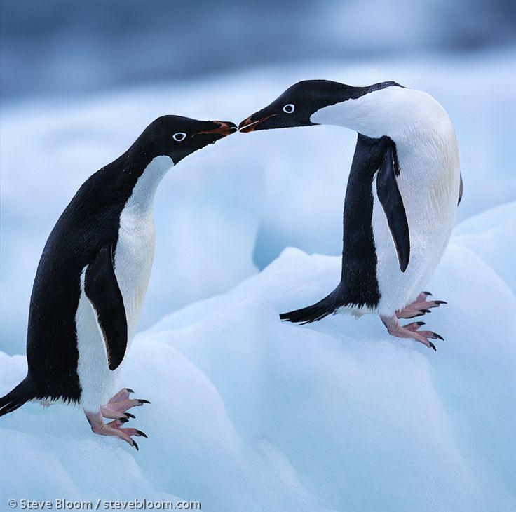 Adelie Penguins, Paulet Island, Antarctica.  Image by Steve Bloom