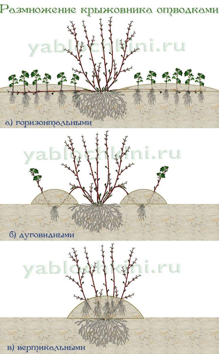 размножение-отводками