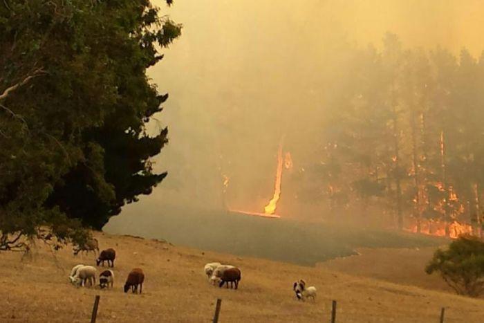 Sheep graze as bushfire burns