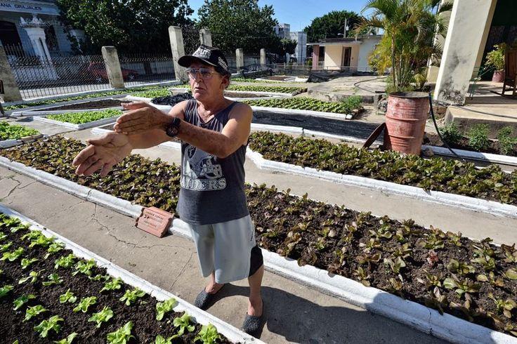 """Cienfuegos, Patio Quinta de Miraflores. Durante il """"Periodo Especial"""" al posto delle rose Hipolito, il proprietario,  ha cominciato a coltivare lattuga.  Foto di Federico Labanti"""