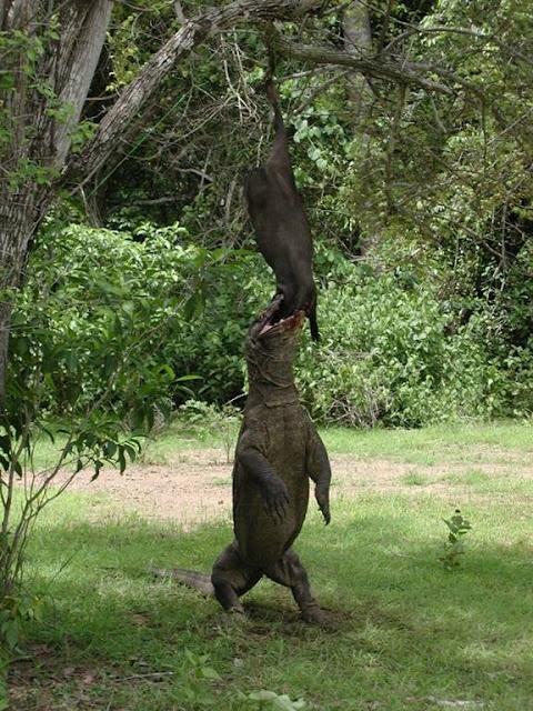 Komodo dragon climbs for his dinner