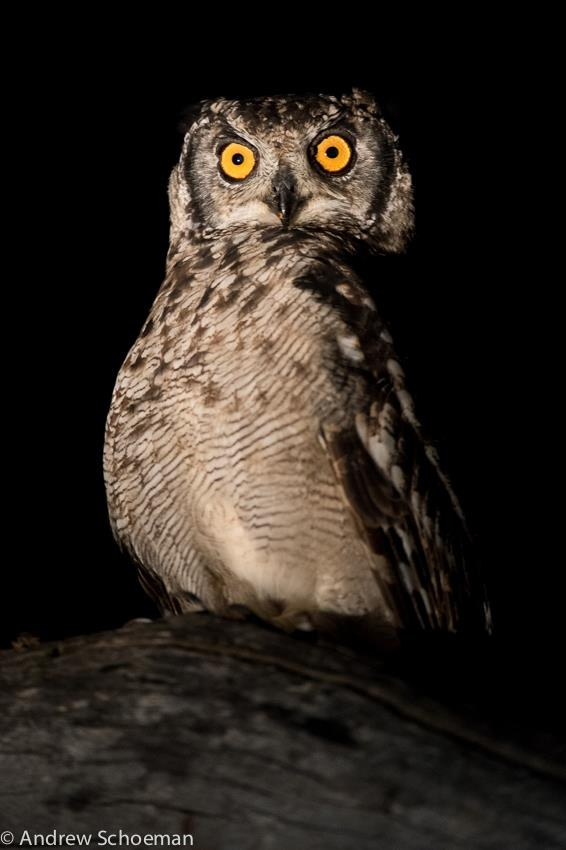 An eagle owl photographed in the Sabi Sand Game Reserve by Andrew Schoeman.