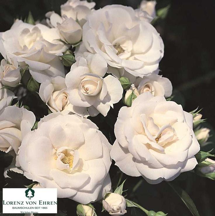 """""""Aspirin"""", Splendide variété arbustive de très grande qualité. L'abondance de la floraison, la tenue parfaite du coloris blanc rosé et sa forte résistance aux maladies en font un rosier très apprécié. Variété remontante, au port arbustif."""