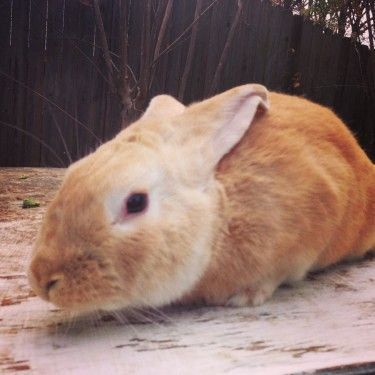 palomino rabbits - photo #18