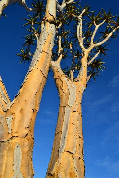 #quiver tree #namibia #photography