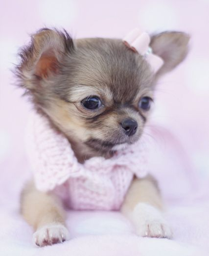 Long Haired Chihuahua in a tiny pink dog sweater by teacupspuppies.com