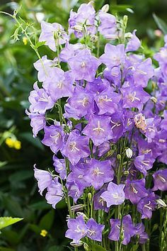 Glockenblume (lat. Campanula carpatica) https://pagez.fun/10262/these-59-survival-tips-and-tricks