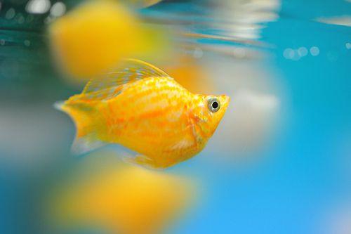 Sailfin balloon molly tropical fish and aquariums for Balloon molly fish