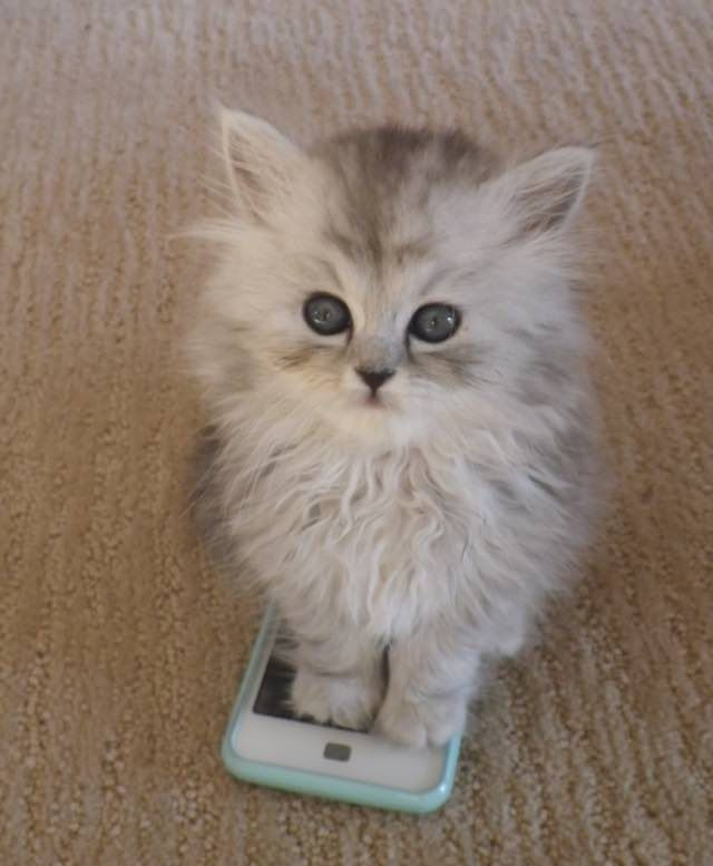 Gandalf the adventurous Siberian Cat cell phone
