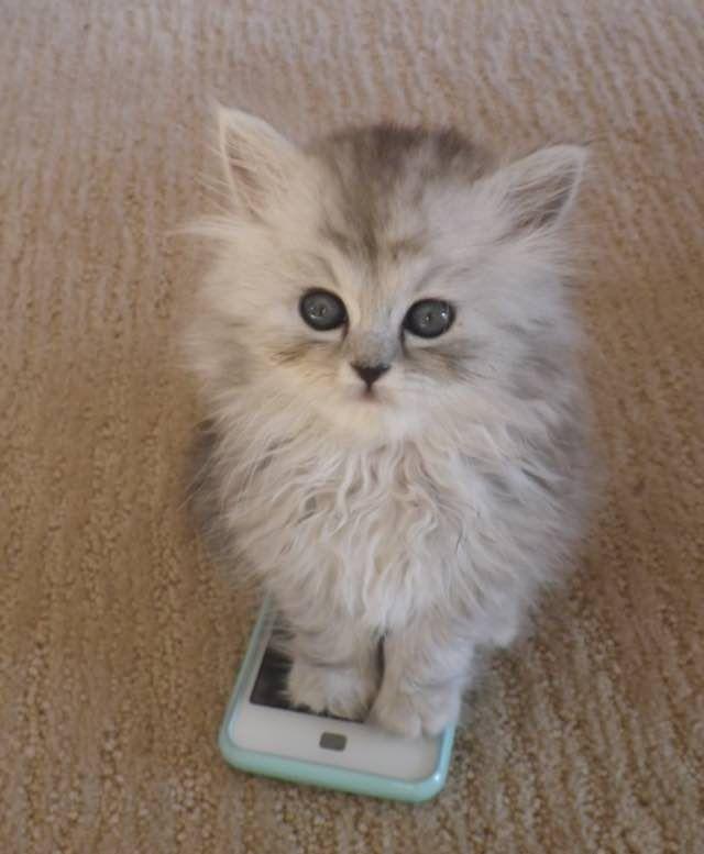 british shorthair cats prices