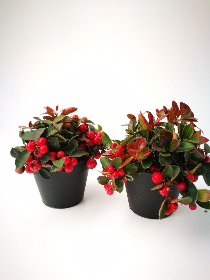 7 besten pflanzen im herbst bilder auf pinterest herbst pflanzen und winterhart. Black Bedroom Furniture Sets. Home Design Ideas