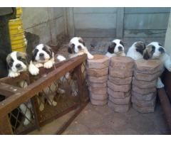 St Bernard Puppies for sale. www.puppies.org.za