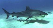 Artikel van de week op WikiKids gaat over haaien.