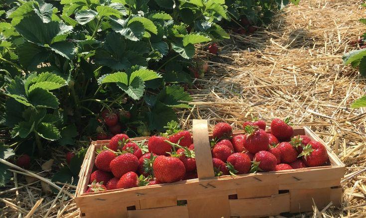 25 best ideas about plantation fraisiers on pinterest. Black Bedroom Furniture Sets. Home Design Ideas