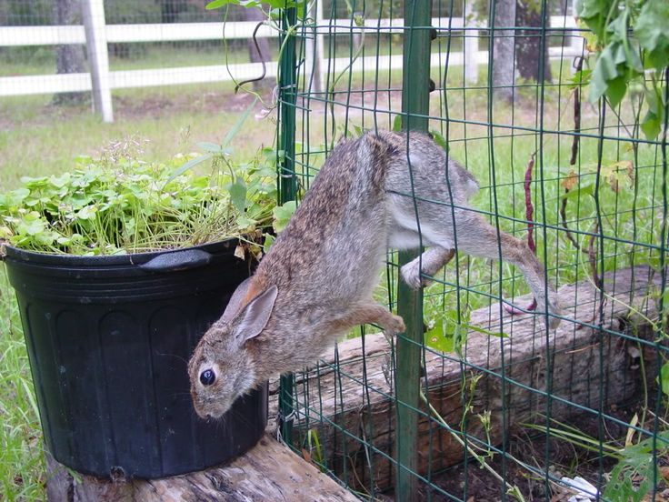 an almost rabbit proof garden fence lol how to rabbit proof raised
