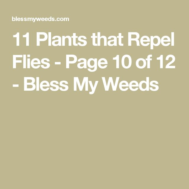 11 Plants that Repel Flies - Page 10 of 12 - Bless My Weeds