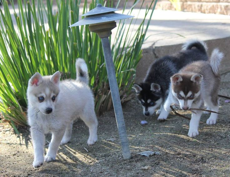 Middle Tennessee Pomskies Review – Tennessee Pomsky Breeder