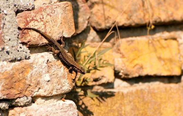 Wall Lizard (Podarcis muralis), From Episode One: Urban Dragons of the Ruins which you can watch here: http://vimeo.com/31835940