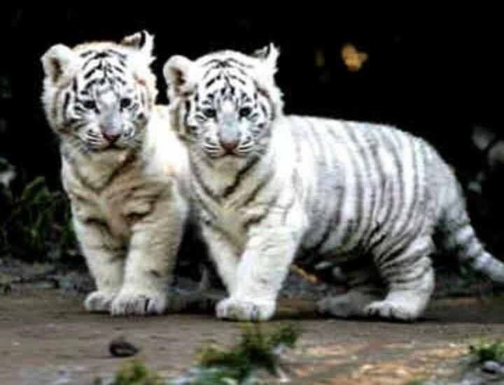 white siberian tiger - photo #2