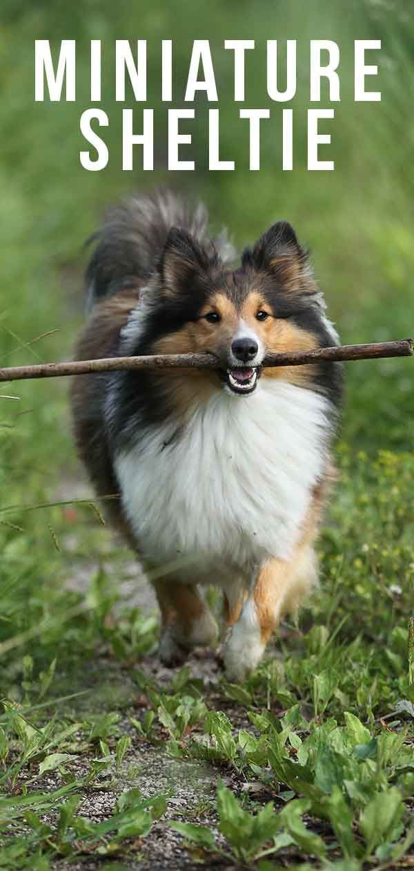 Miniature Husky Miniaturehusky The Mini Shetland Sheepdog Is A Small Version Of A Popular Breed So Is It Right In 2020 Miniature Dog Breeds Sheltie Shetland Sheepdog
