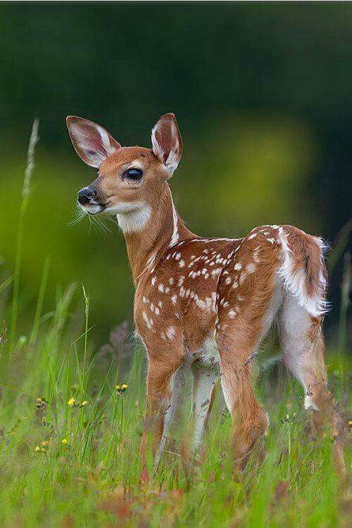 Pretty Young Fawn Hearing Something.
