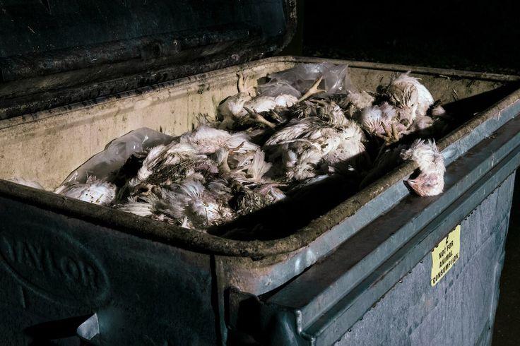 Une enquête montre les conditions de vie atroces dans lesquelles vivent les poulets élevés dans des « normes élevées de bien-être » animal.