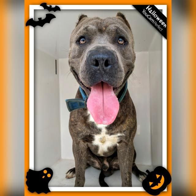 ***URGENT 9/26/16 -- ID#A468894 ' URGENT - Harris County Animal Shelter in Houston, Texas - ADOPT OR FOSTER - 4 year old Male Pit Bull Terrier - at the shelter since Sep 23, 2016.