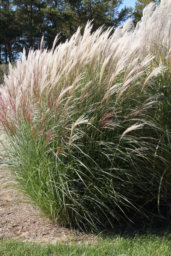 612 best images about ornamental grasses and landscape for Tall purple ornamental grass