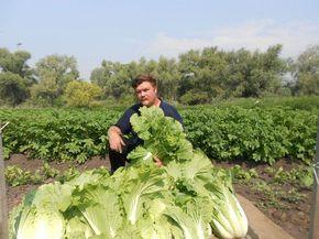 Как Пекинской угодить или два урожая за сезон. Обсуждение на LiveInternet - Российский Сервис Онлайн-Дневников