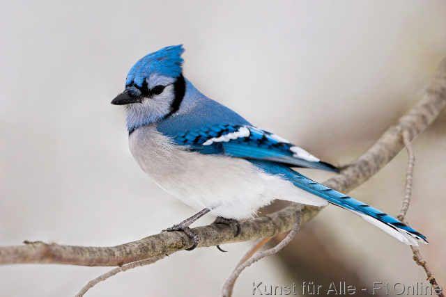 Blaue Eichelhäher, Blauer Eichelhäher, Jaybird, Etobicoke