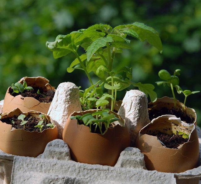 Balkon Bahçeciliği 101: Tohumdan elde edeceğiniz fideler için içi boş yumurta kabuklarını kullanabilirsiniz! #milliyet #milliyetemlak #bahçe #balkon #fide #püf #tips #tricks #roots #plants #balcony #nature #naturelovers #eggs