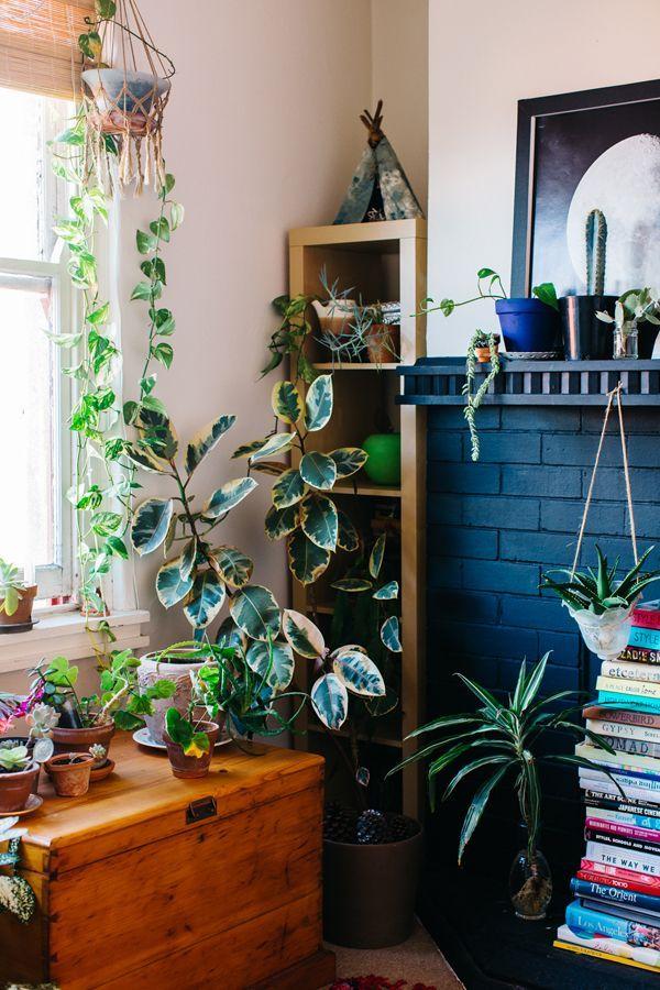 Ficus elastica 'Variegata'   / Variegated rubber plant