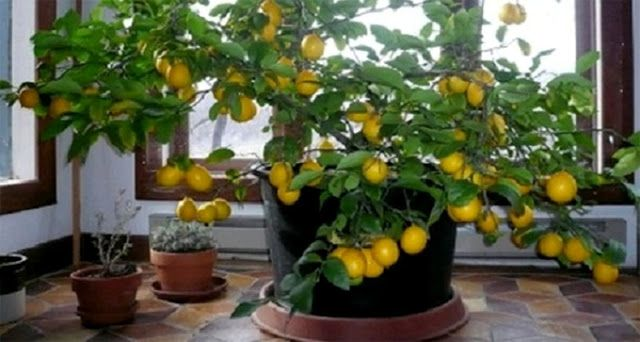 Como plantar um pé de limão até mesmo em apartamento   Cura pela Natureza.com.br