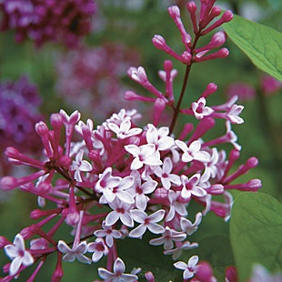 Syringa pubescens subsp. microphylla 'Superba' Pink flowering bush