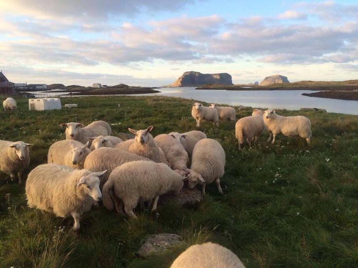 LOFOTEN WOOL - Lokalt ullgarn, laget av lykkelige sauer i Lofoten og nordnorge forøvrig. Kortrest, bærekraftig , super kvalitets ull // Lofoten Wool produces yarn from sheep in Lofoten in northern Norway