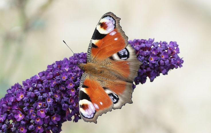 Dagpåfugleøje (Aglais io) Kendetegn: Vingefang: 52-65 mm. Oversiden er mørkerød med store øjepletter på begge vingepar. Øjepletterne gør sommerfuglen mere synlig, men virker skræmmende på især insektædende fugle. Undersiden er mørkmarmoreret i sorte, brune og grå farver Levested: Ses overalt. i store bevoksninger af Hjortetrøst kan man være heldig at se i tusindvis af de mørke sommerfugle.