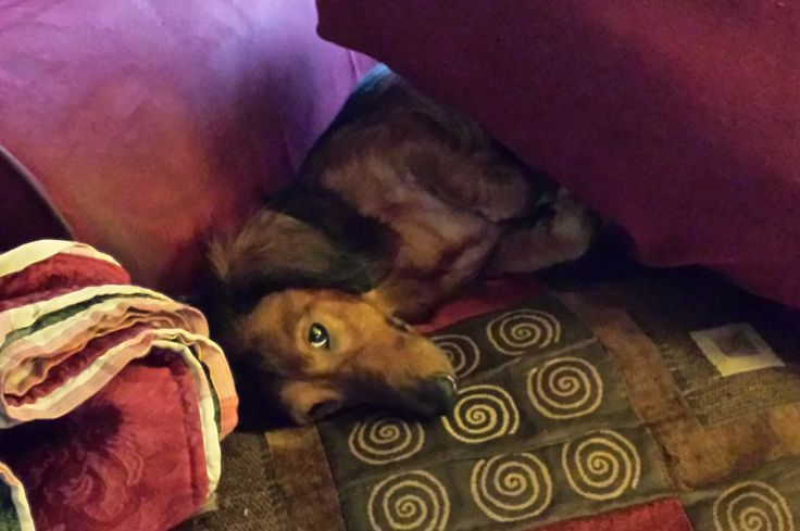 D'arcy on his favourite piece of furniture demonstrating a doxie's crevice critter function.
