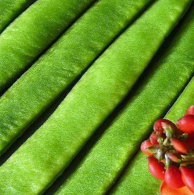 RUNNER-BEAN-ENORMA-120-Seeds-half-metre-long-pods-quick-easy-to-grow