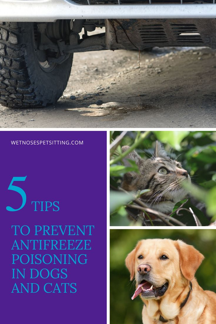 5 Tips to Prevent Antifreeze Poisoning in Dogs and Cats