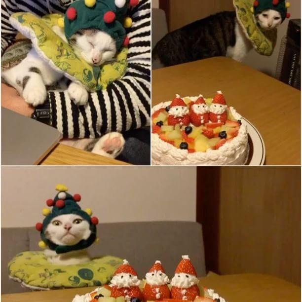 Merry Christmas✨🎄✨① ハッチャン!写真撮るからウロウロせんと、ジッとして〜!おこちゃんどこ行った〜? #八おこめ動く #八おこめズラ #八おこめ #ねこ部 #cat #ねこ #八おこめ食べ物 #クリスマス #クリスマスケーキ #クリスマス猫パーチー