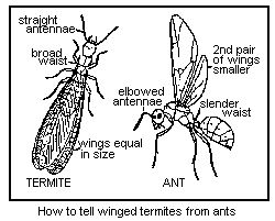 how to tell winged termites from ants and how to get rid of carpenter ants