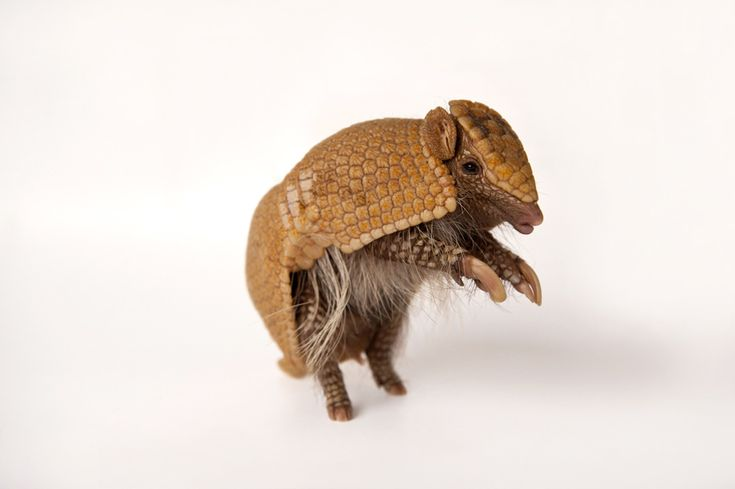 A southern three-banded armadillo (Tolypeutes matacus) at the Lincoln Children's Zoo