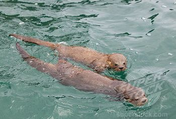 chiloe island   ... Otter (Lontra felina) mother and pup swimming, Chiloe Island, Chile