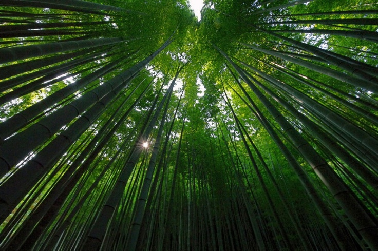 This is  a great shot looking up into a giant timber bamboo forest.  It is most likely a Phyllostachys, perhaps a Moso or Bambusoides.  It looks like a fully grown forest, reaching 50'-75' tall.