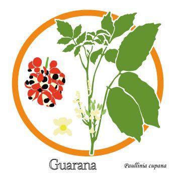 Dessin d'une branche de Guarana, fleur et fruits - Un fruit riche en caféïne : lutter contre la fatigue - uptimoi - Guarana plant drawing