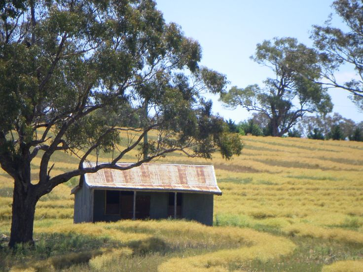 Bush hut in canola crop.